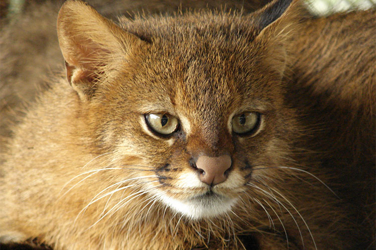 Pampas Cat in Chile