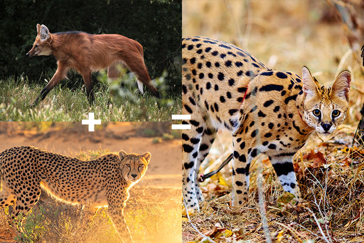 Serval a cross between a maned wolf and a cheetah