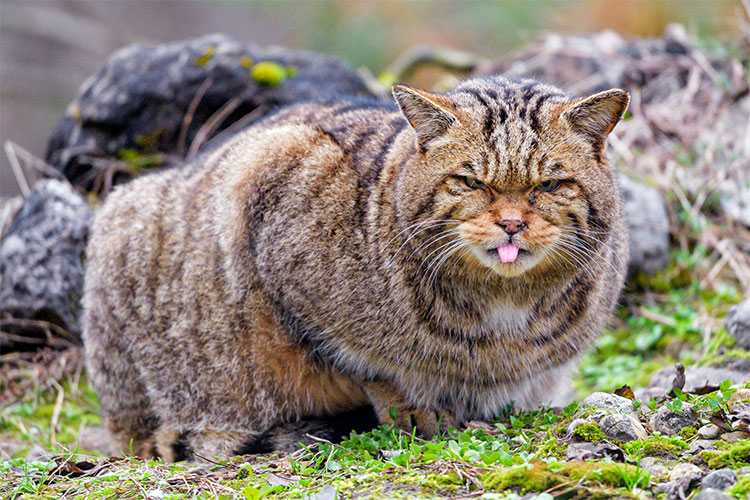 Male European wildcat poking his tongue out!