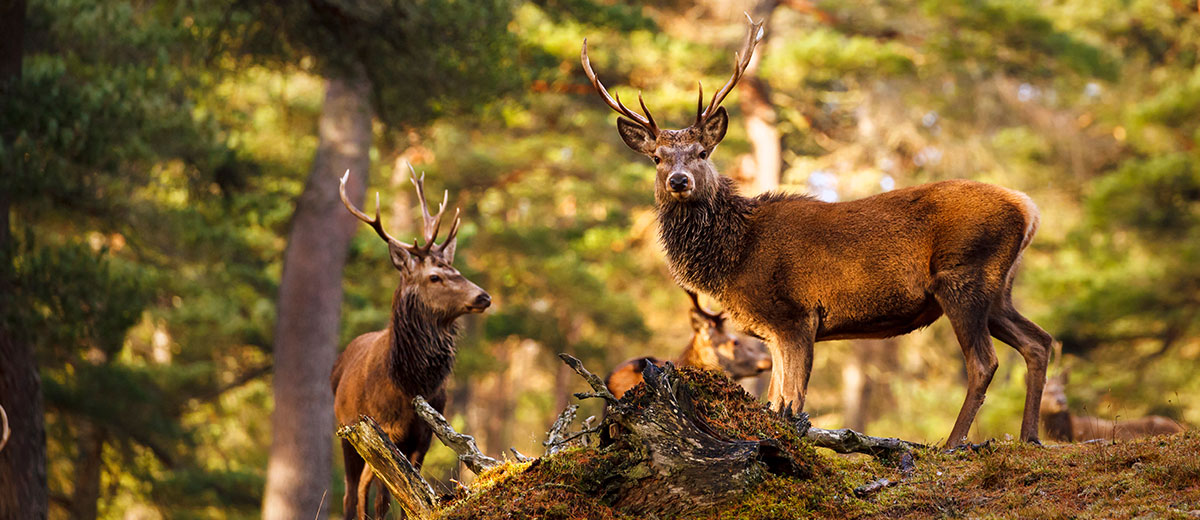Red deer in the temperate forests of Scotland